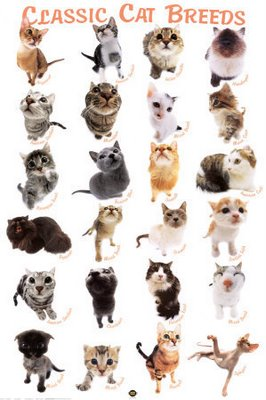 cat-breeds-poster