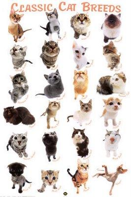 cat-breeds-poster