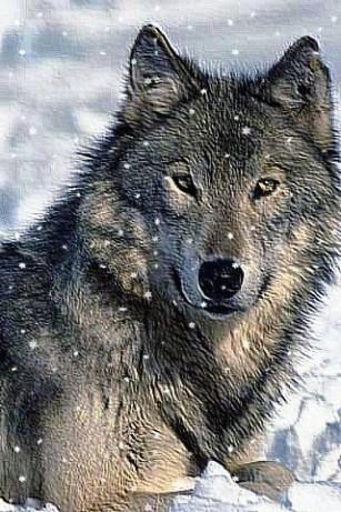 wolves-g