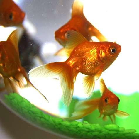 fish-caro-caro