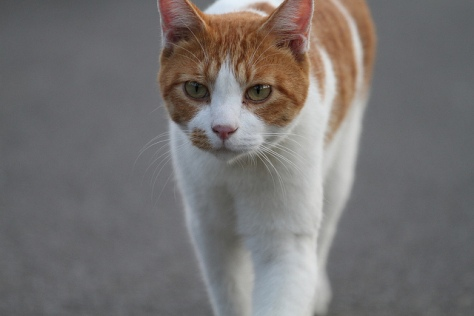 Ginger-and-white-cat
