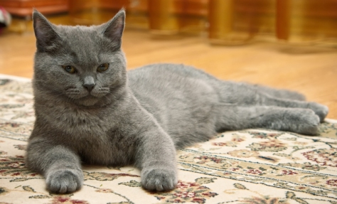 gray-cat-positive-reinforcement