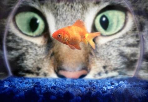 Cat Staring at Goldfish