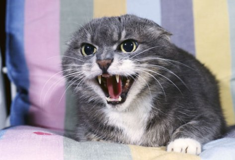 photolibrary_rm_photo_of_angry_cat_with_ears_back