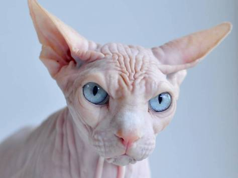 ugly-cat-sphynx-2